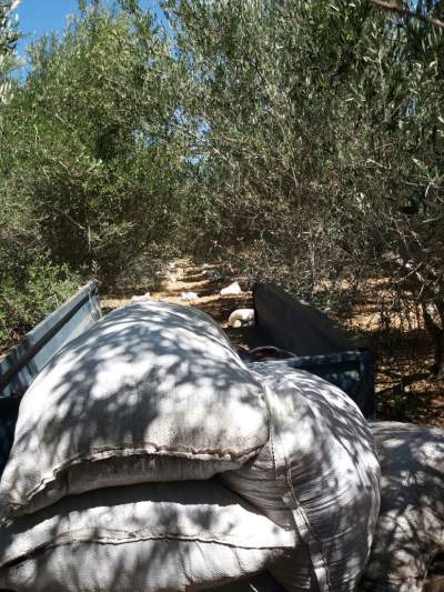 Distributing the manure bags at the feet of my olive trees