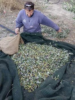 La récolte 2016 des olives en Crète