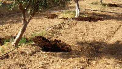 Manure at the foot of every olive tree of my olive groves
