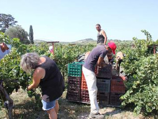 Harvesting and pressing the grapes