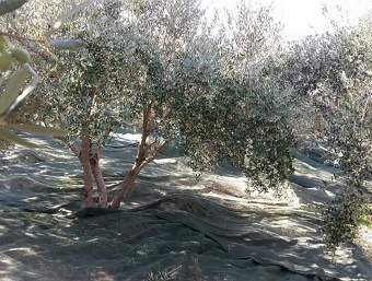 Nets surrounding the olive trees