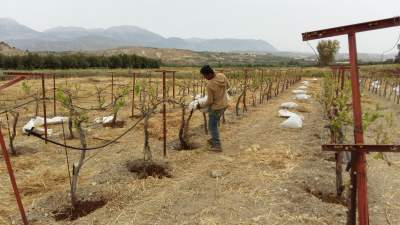 Pouring the crushed manure into my vines