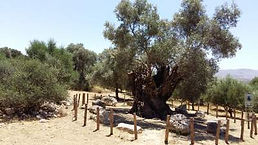 Mother Olive Tree of Kamilari