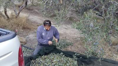 Olivenernte in Kreta 2016
