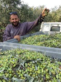 Giorgos Spyridakis avec des olives vertes fraîchement cueillies