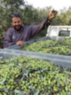 Giorgos Spyridakis with freshly picked green olives