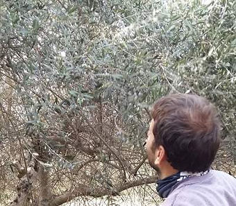 Checking if the olives are ready before the harvest