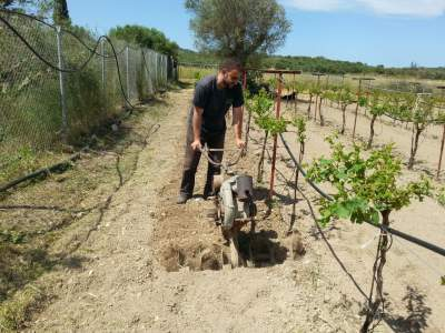 Planting new grapes