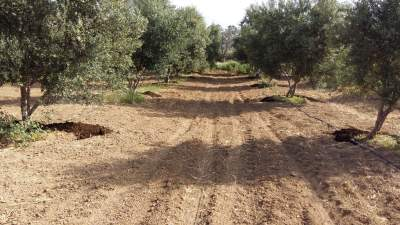 Olive trees ready to be watered after the organic manure has been placed