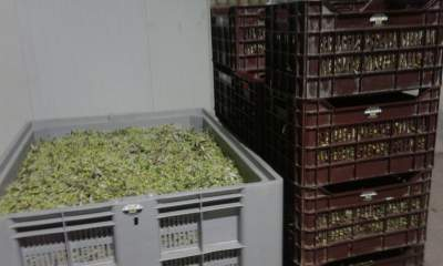 Crates full of olives