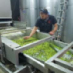 Giorgos Spyridakis kontrolliert die grünen Oliven auf der Presse