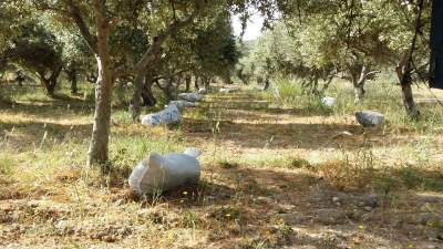Preparing to feed my olive trees with the organic manure from my farm