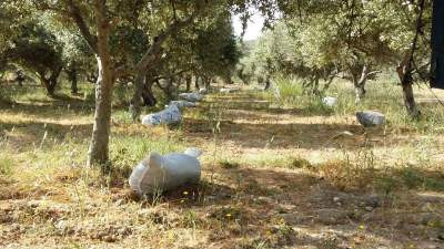 Sacks of organic manure ready to be emptied at the bottom of each olive tree