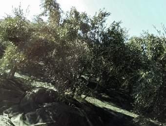 My olive groves near Kalamaki