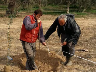 Planting New Olive Trees