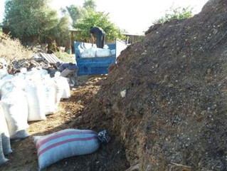 Feeding my olive trees with natural manure