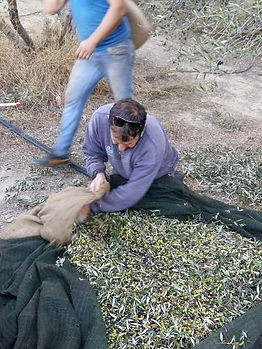 Die SAFIkala Olivenernte
