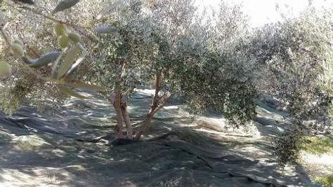 Filets à olives pour la récolte