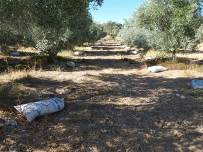Manure bags at the feet of my olive trees