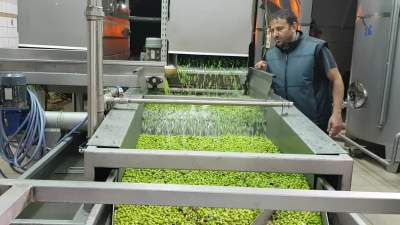Green olives going through the various washing steps