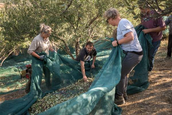 Gathering the olives