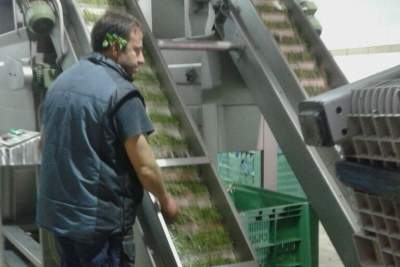 Olives going up the conveyor belt for washing