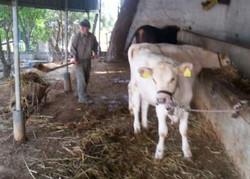 Mein Vater mit den Kühen.