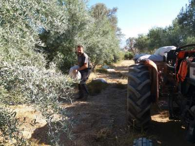 Placing the manure at the feet of the trees