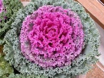 Kale (Decorative)