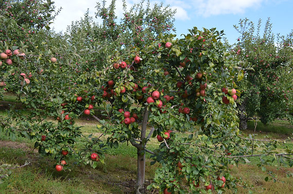 Image of our beautiful apple filled tree