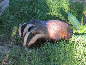 badger-trust-alex-white-2-badgers.jpg