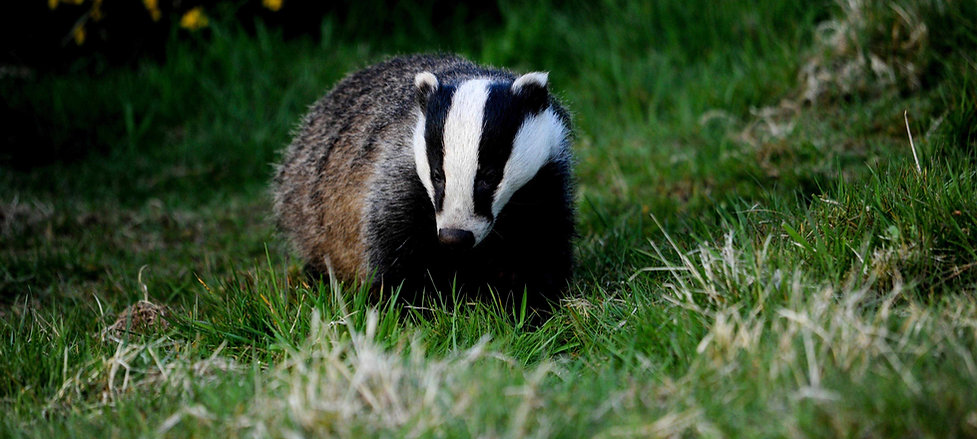 Badger hunting worms in the grass