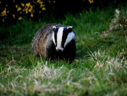 Badger Trust holds Bovine Tb: Science and Evidence Debate