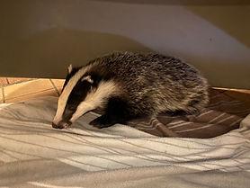 badger cub 10 weeks old.jpg