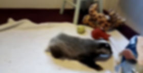rescue badger cub chasing toilet rolls