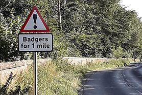 norfolk , badgers, road, accidents