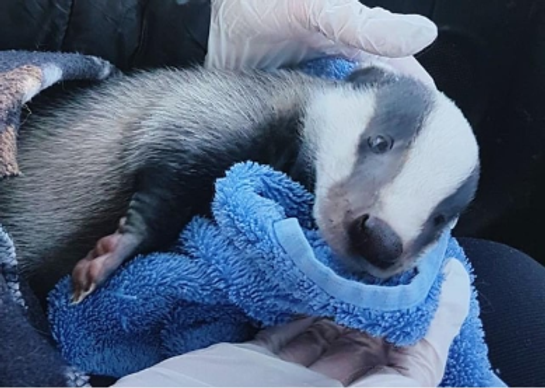 Badger cub being vaccinated