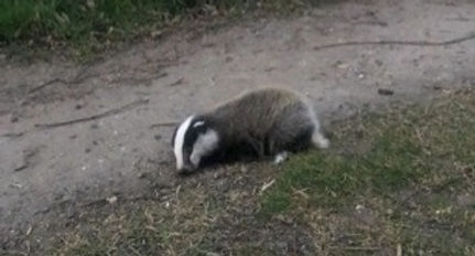 badger cub found laying on track