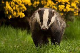 Badger near gorse - image by Dod Morrison