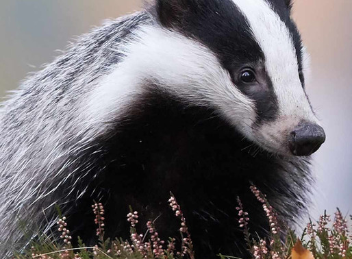 Government finally concludes that badger culling is not the solution to lowering TB in cattle