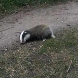 badger-cub-rescue-challenge-1a.jpg