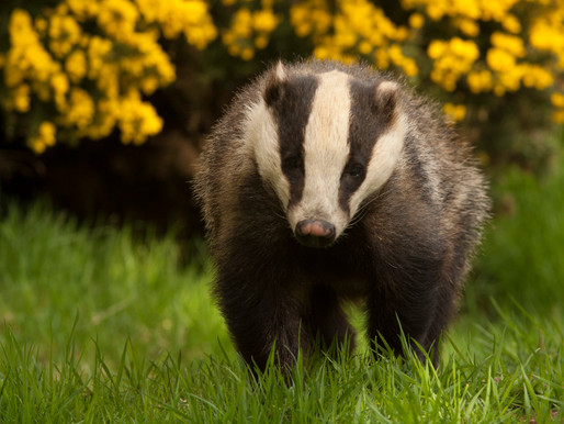 Badger Trust believes Government betraying public trust on bovine TB policy