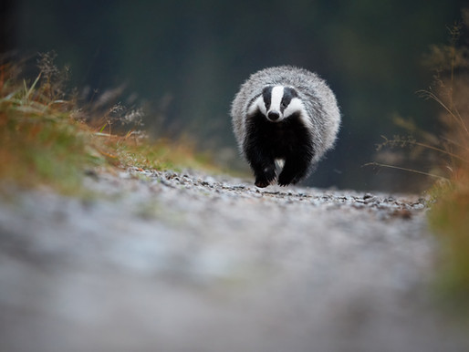 Government faces two new legal challenges as it seeks to expand controversial badger cull policy