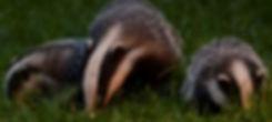 Three badgers at dusk