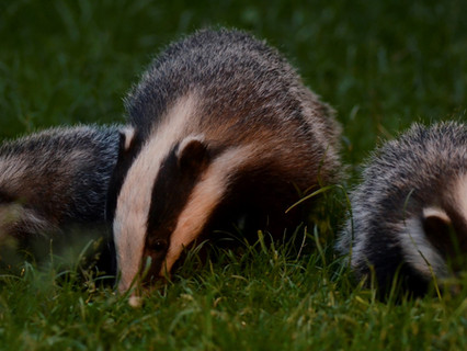 £383,000 Spent On FAILED Badger TB Test And Cull Policy In Wales