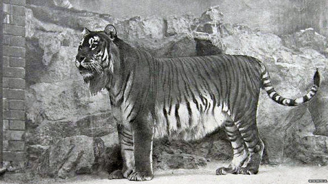 Reintroducing massive tigers to Central Asia