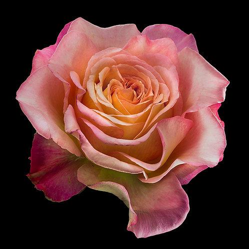 JF Rose 06