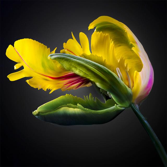 JF Tulip 25
