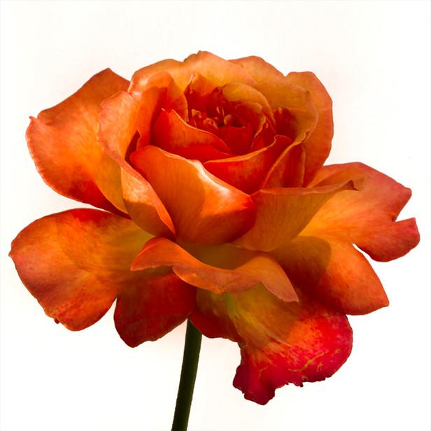 JF Rose 43