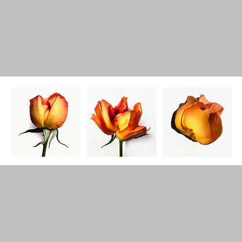 Triptycha SPECIAL Edtion - 12 JFSP Rose Alfred Duerer